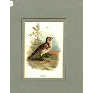 Skylark Thorburn Old Antique Bird Print C1910 Mounted