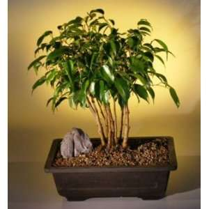 Bonsai Boys Ficus Bonsai Tree Forest Grocery & Gourmet Food